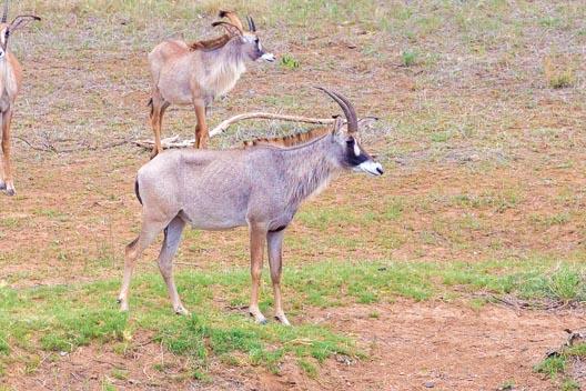 Antilope rouanne
