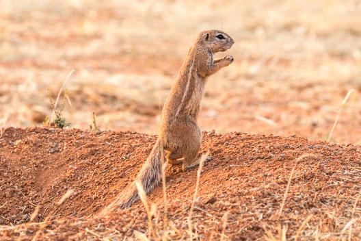 Écureuil fouisseur du Cap
