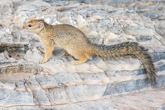 Écureuil de Smith