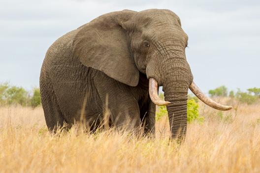 Éléphant de savane