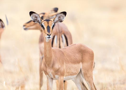 Impala à face noire