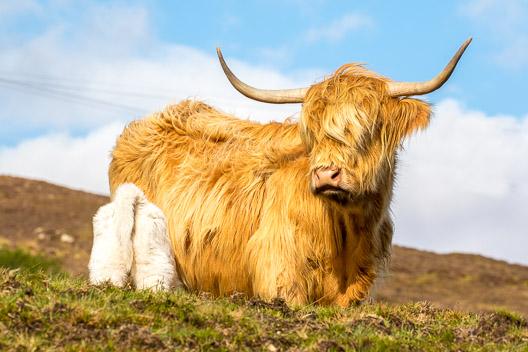 Où voir la Vache des Highlands ?