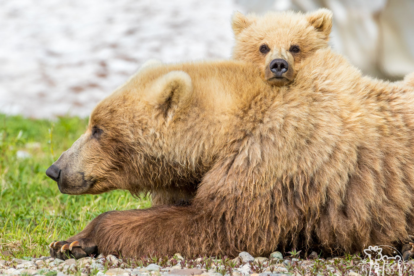 calin-ours-brun