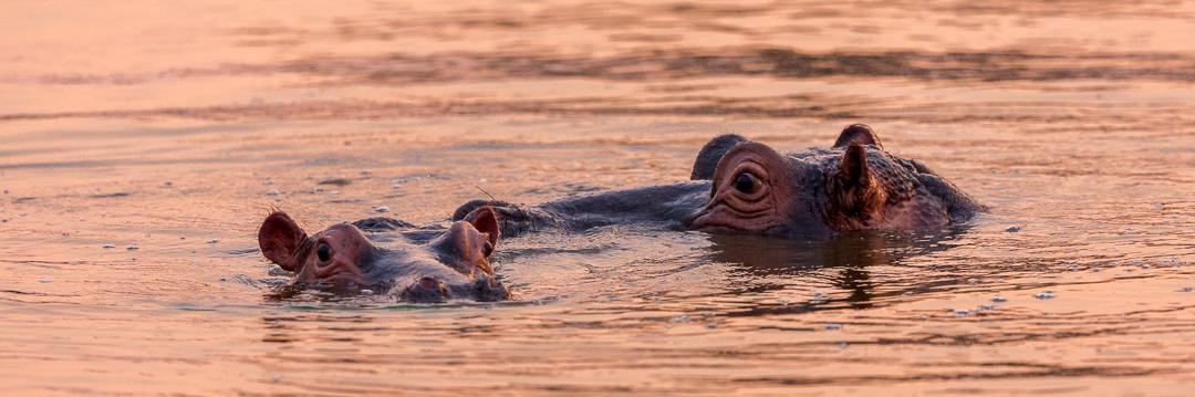 Deux hippopotames au coucher du soleil