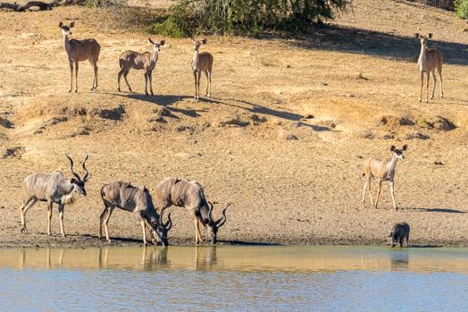 Koudous et phacochère au point d'eau