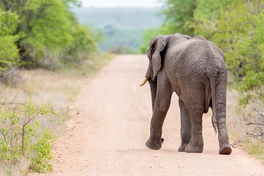 Elephant sur une piste