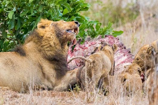 Le repas du lion