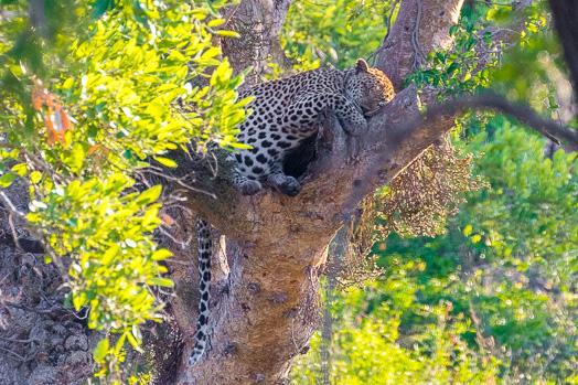 Léopard dormant dans un arbre