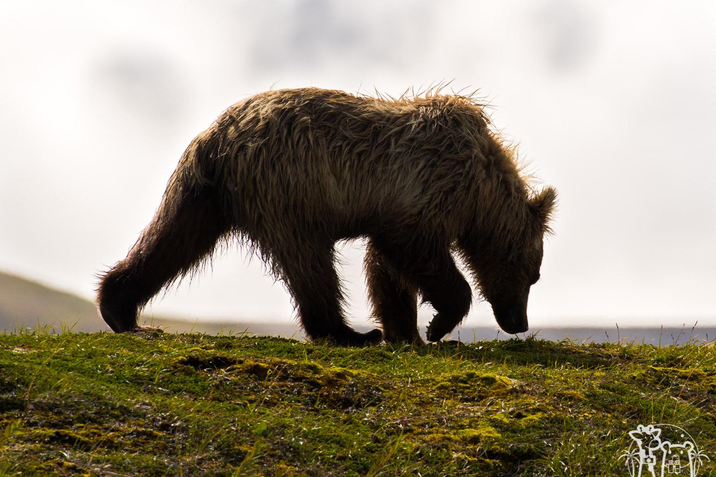 ours-brun-contrejour