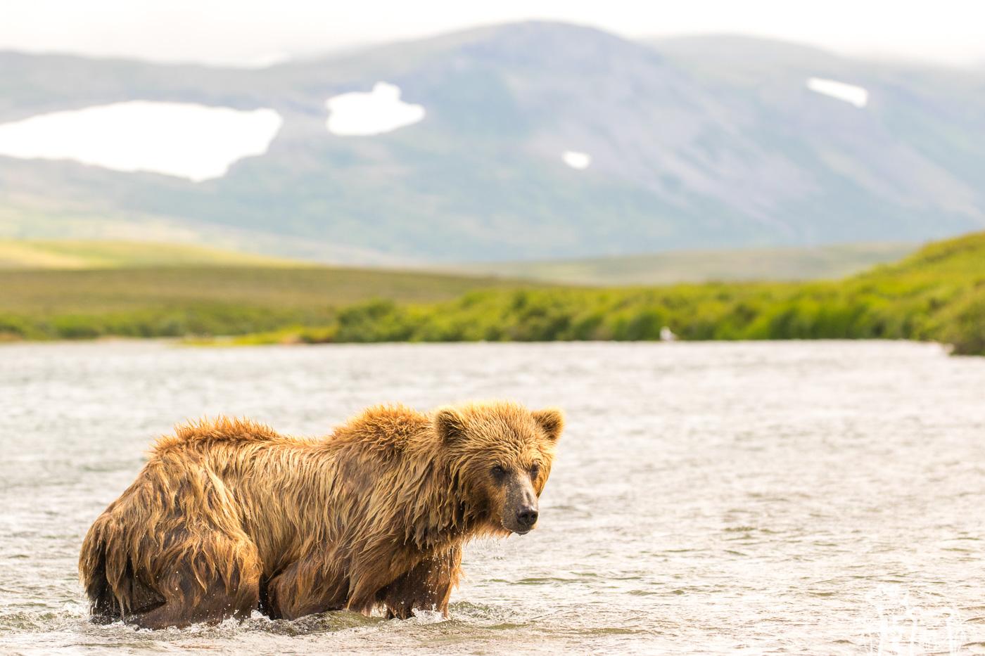 ours-brun-marche-eau