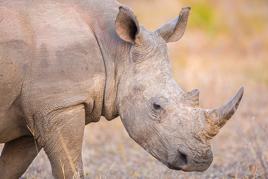 Le Rhinocéros d'Afrique