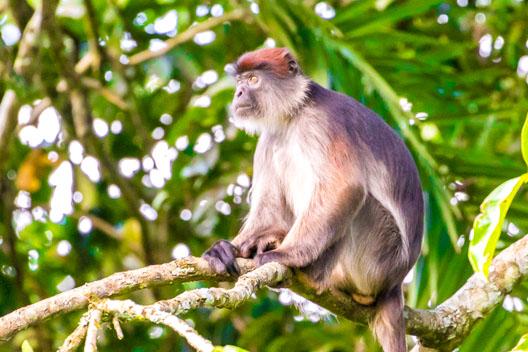 Colobe bai d'Afrique centrale
