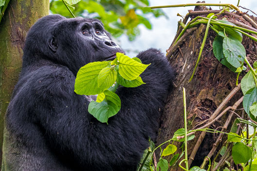 Gorille de montagne de l'Est