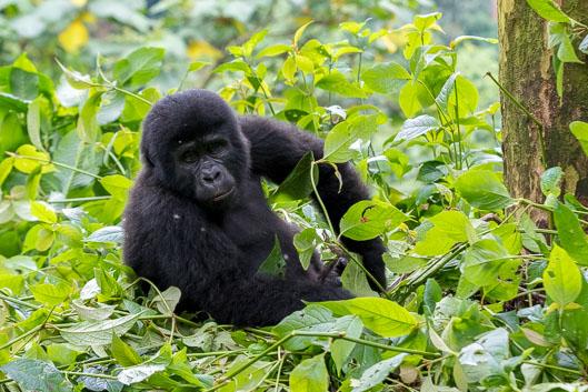 Trek aux gorilles en Ouganda