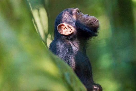 À la rencontre des chimpanzés en Ouganda