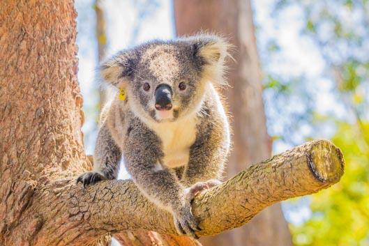 On a visité un hôpital pour koalas !