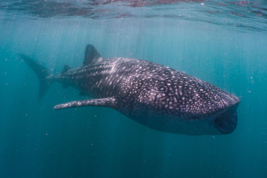 Nager avec les requins-baleines de Ningaloo