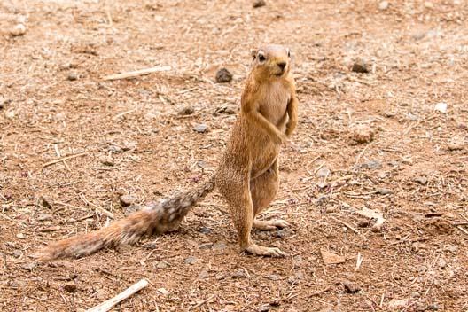 Écureuil fouisseur africain