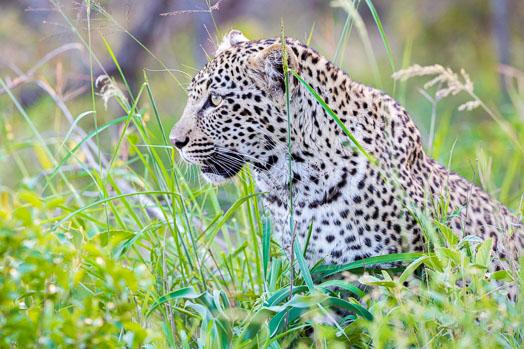 Jeune léopard dans les herbes