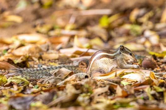 Écureuil aux rayures