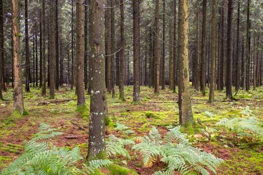 Randonnée et brame du cerf en Ardenne belge