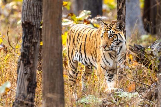 À la recherche des tigres en Inde centrale