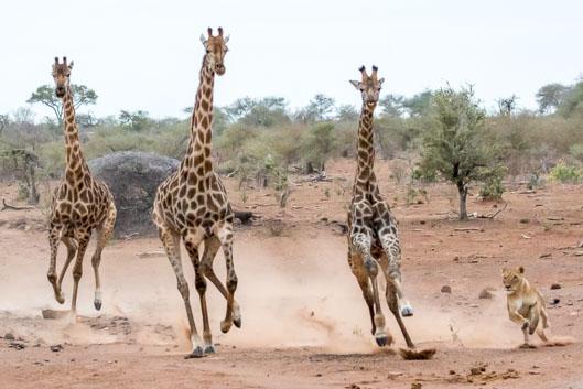 Lionnes en chasse au parc Kruger