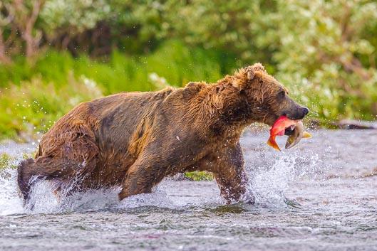 Camping avec les ours bruns de Katmai